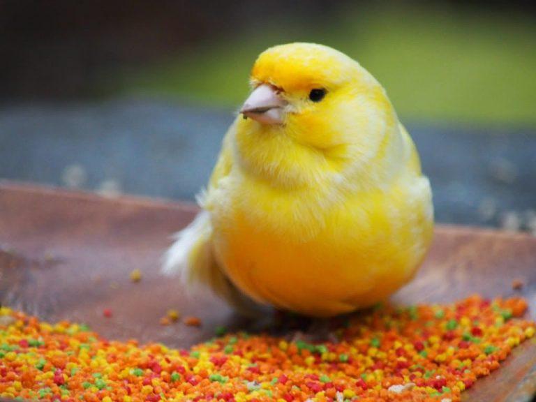 bird canaries