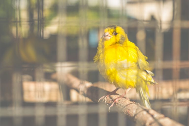 canary bird in a cage