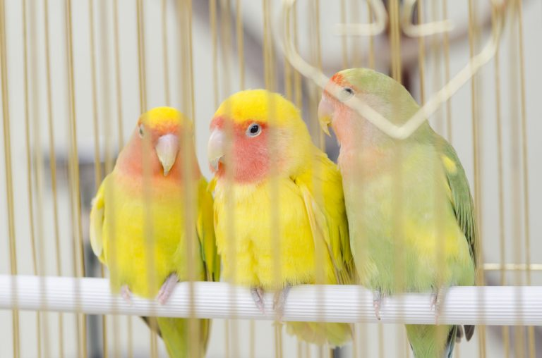 canaries in a cage