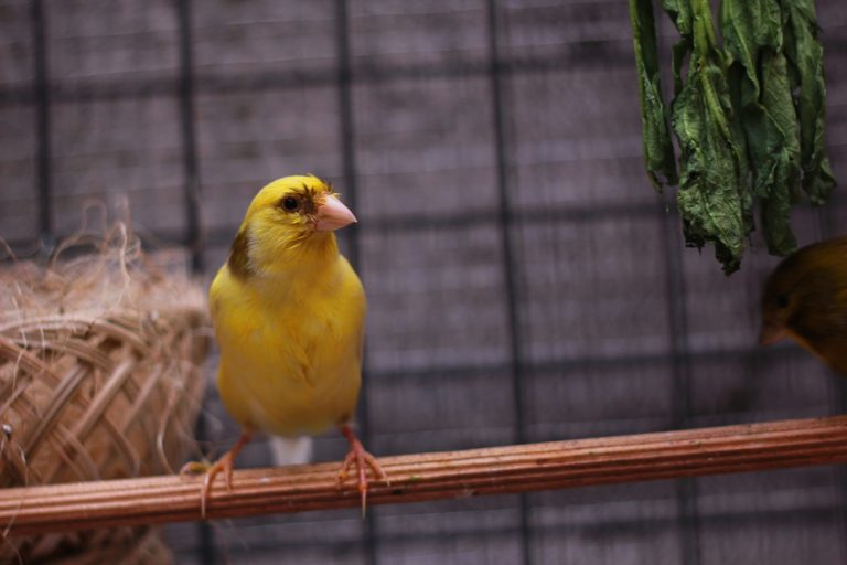 canari bird exotic eat
