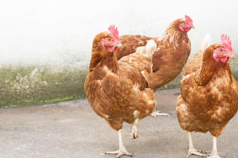 chickens life