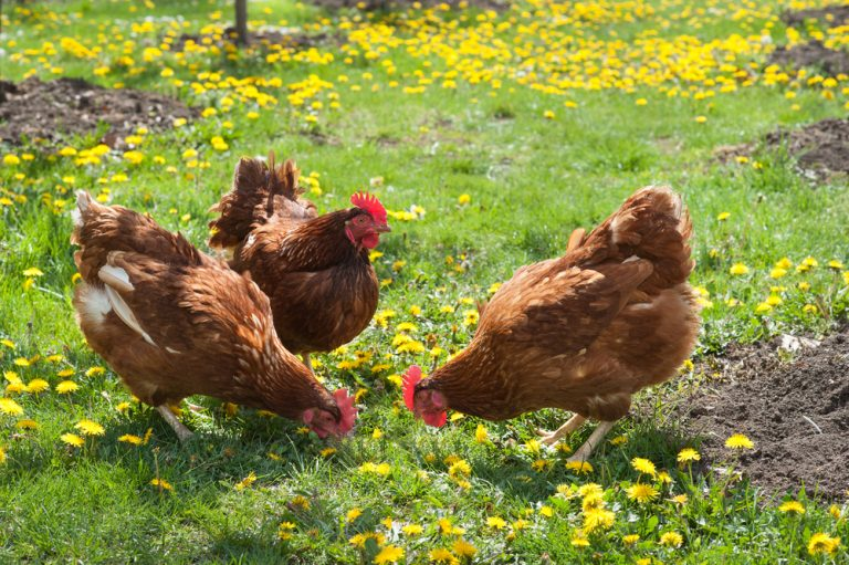 hen as a pet