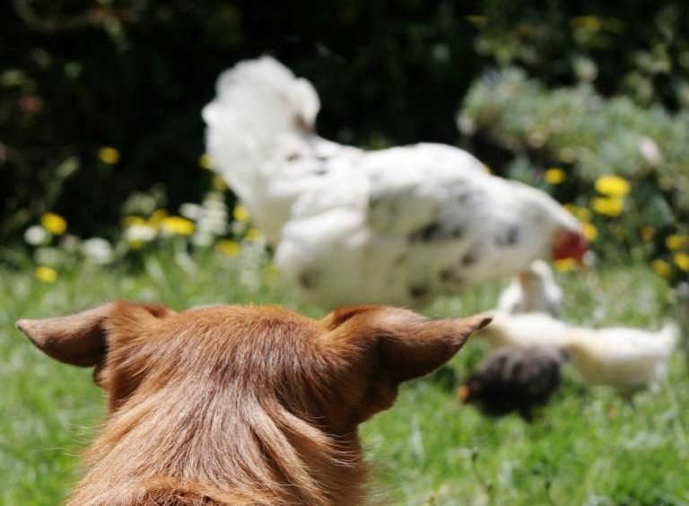 dog to watch the chickens