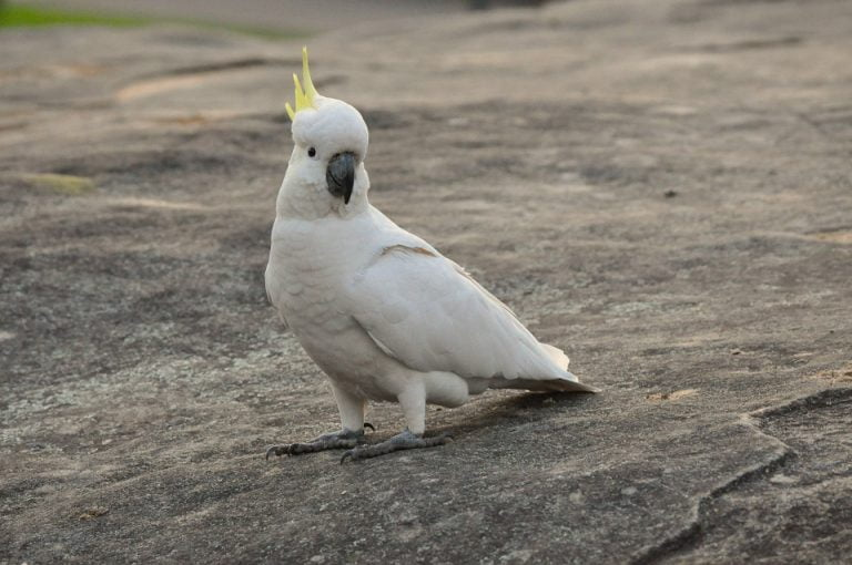 cockatoos in the sand