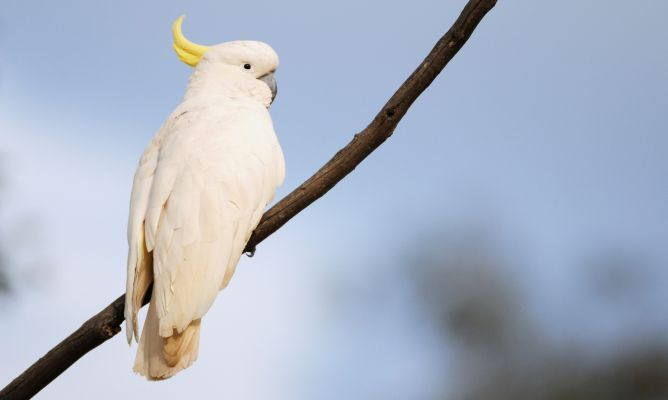 cockatoos in nature