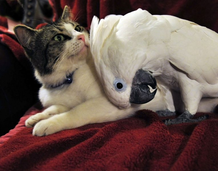 cockatoos with a cat