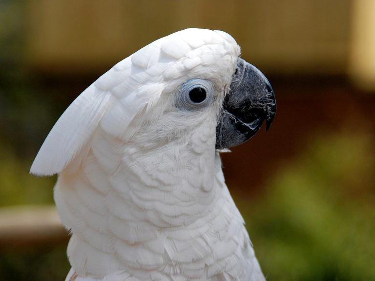 cockatoos possing
