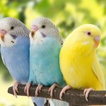 three budgies