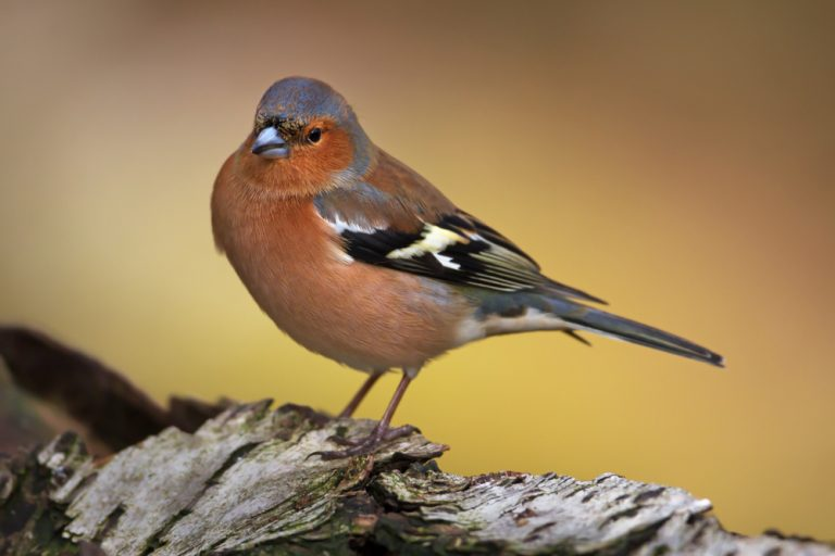 finches bird