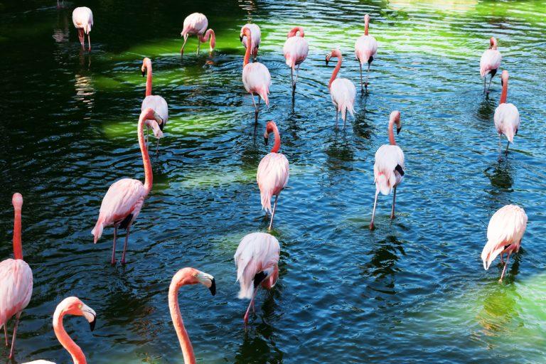 live of a flamingo