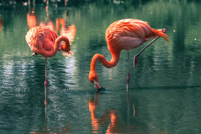 color of the flamingos