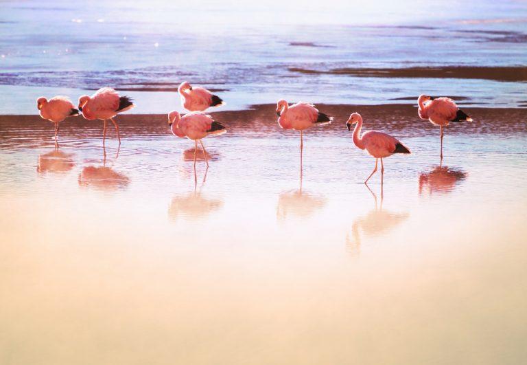 flamingoes birds