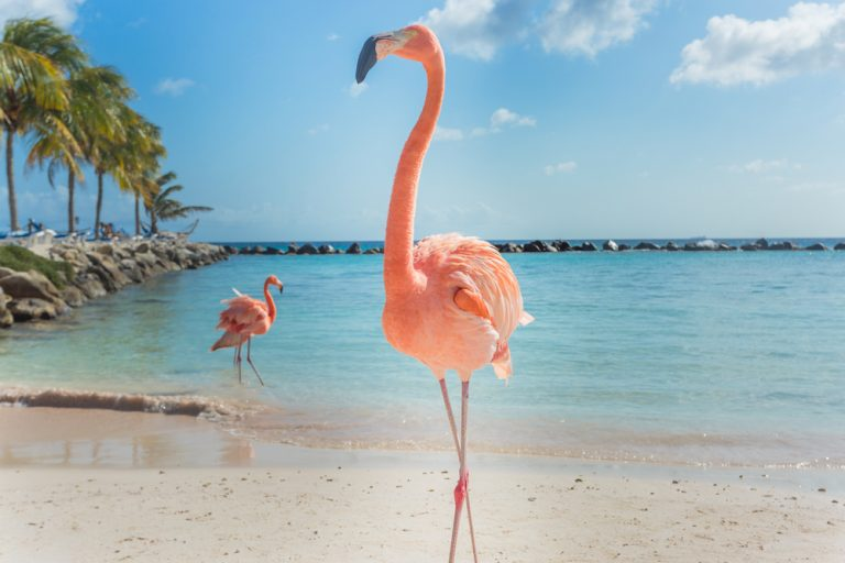 reproduction of flamingos