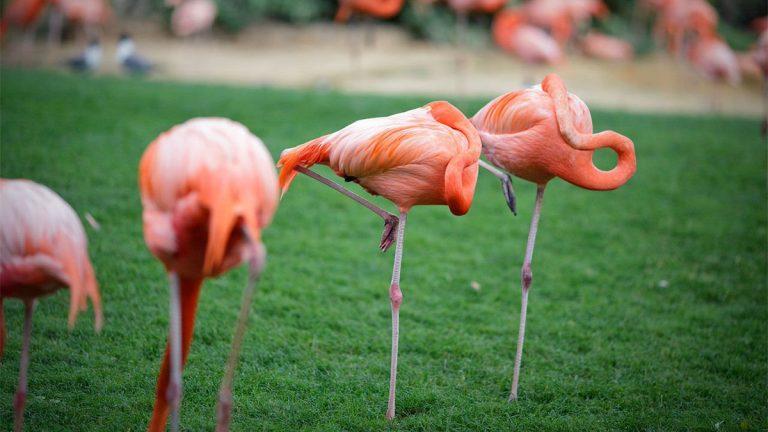flamingoes bird in nature