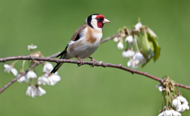 exotic bird goldfinch