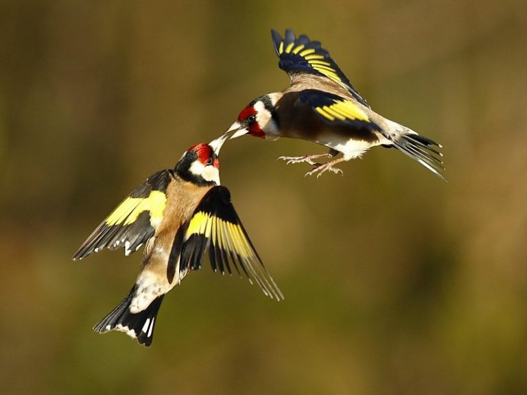 two goldfinch flying