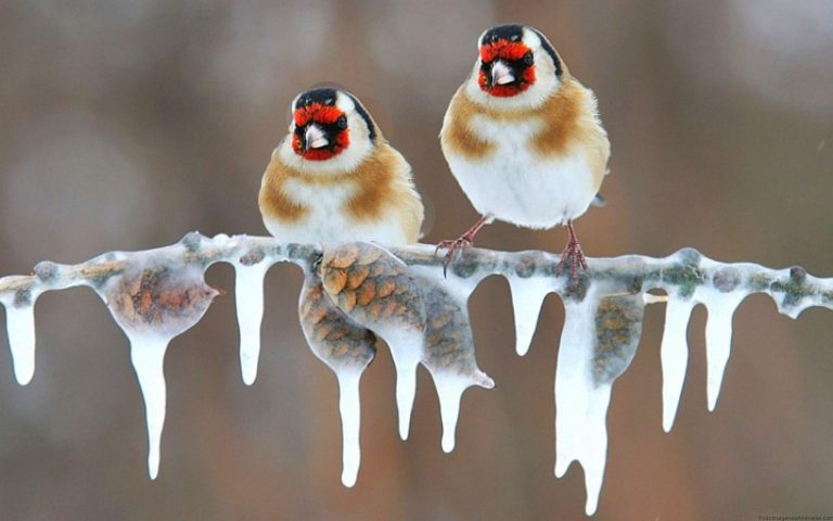 goldfinch in ice