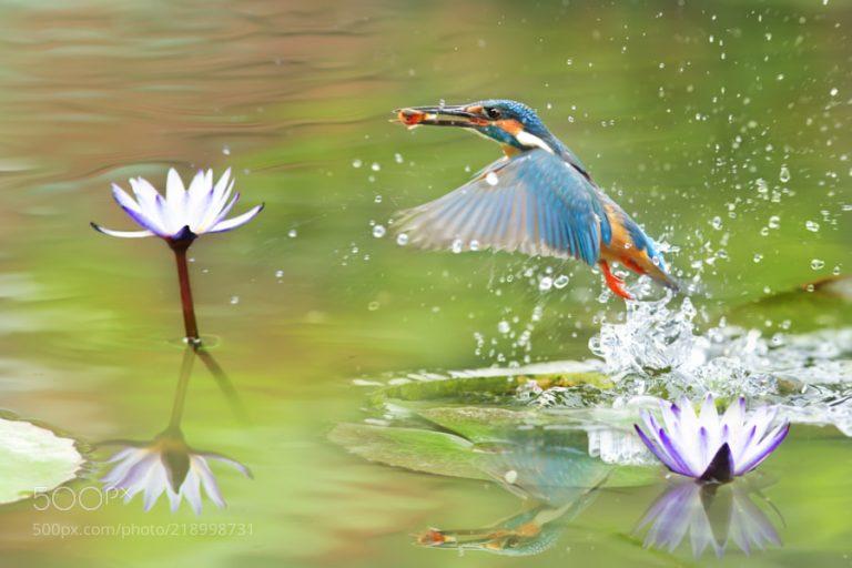 the kingfisher bird