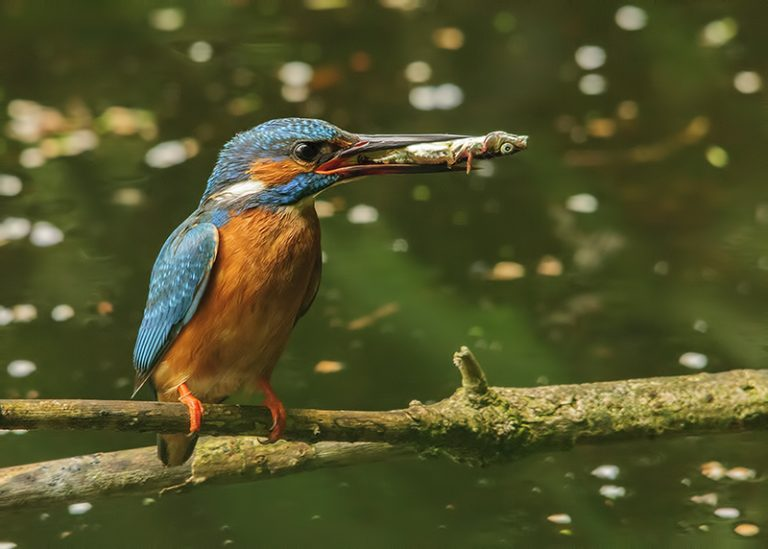 kingfisher eating