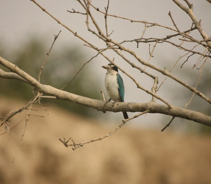 kingfisher reproduce
