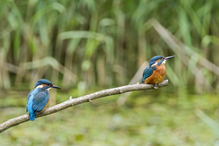 eggs of kingfisher