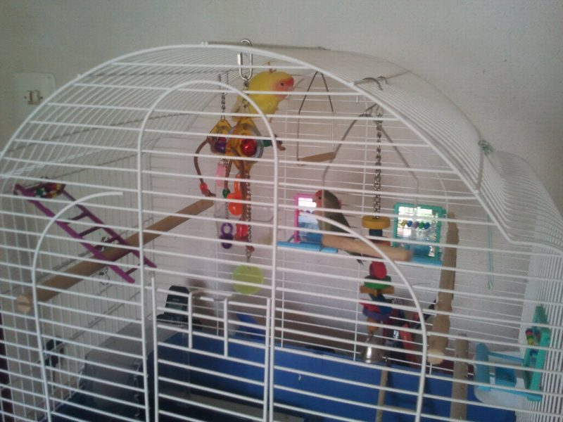 lovebird in the cage
