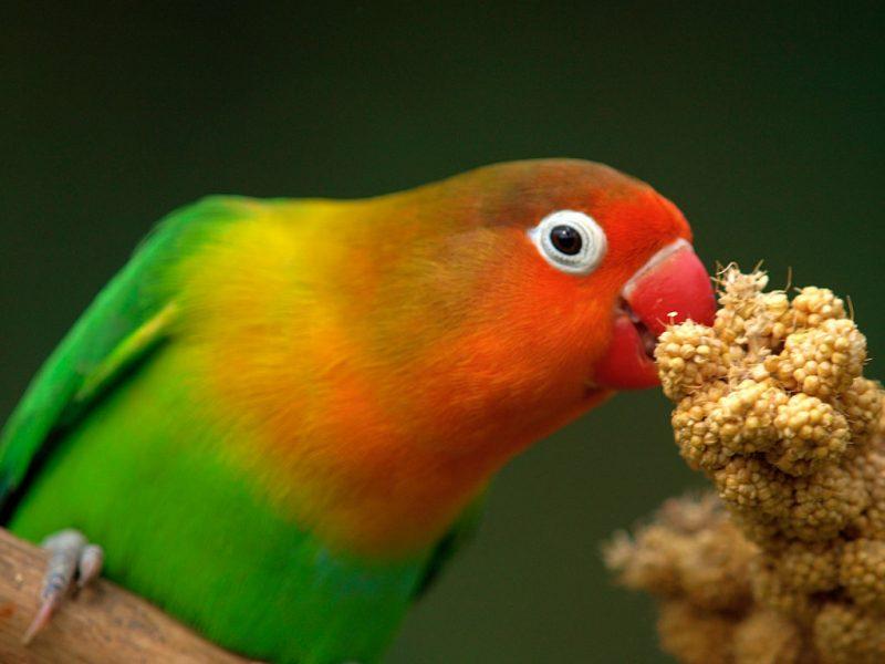 lovebird eating