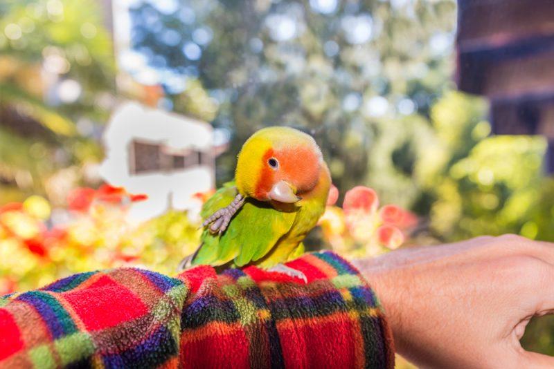 trainging lovebird
