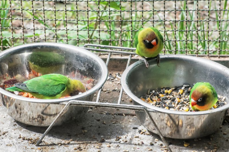 lovebird eats