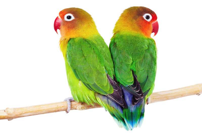 lovebird male and famel