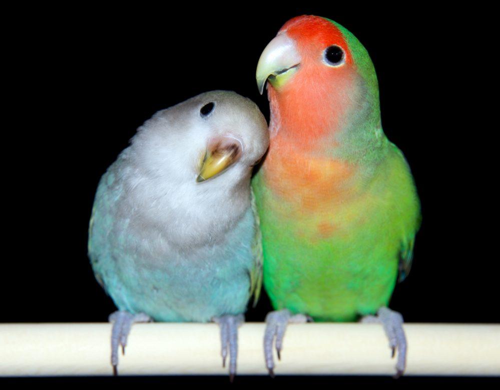 two difrent lovebird