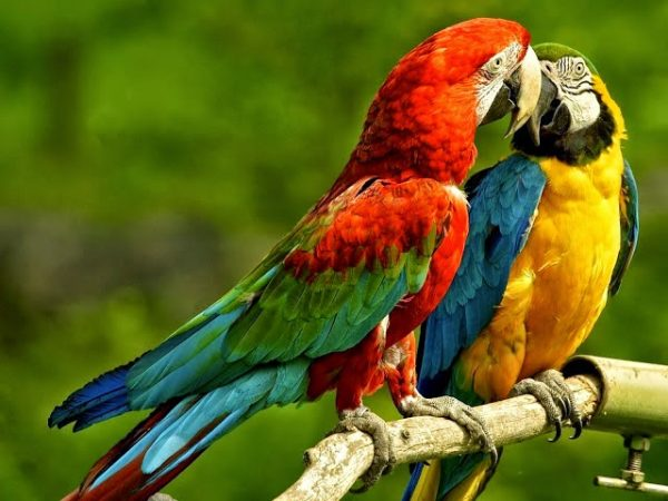 macaws in love