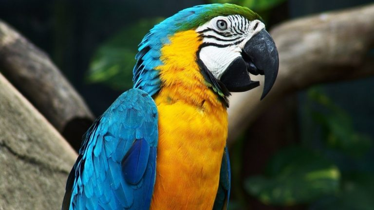 macaw blue and yellow