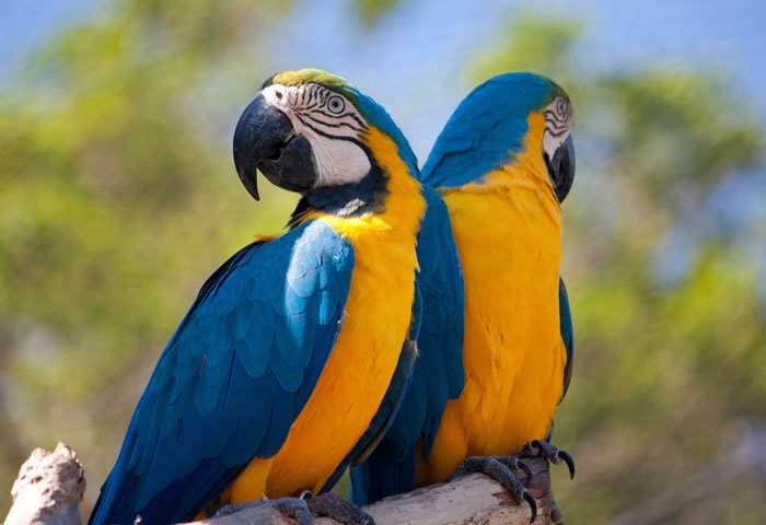 two blue and yellow macaws