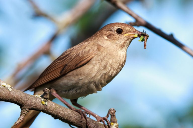 nightingale eating