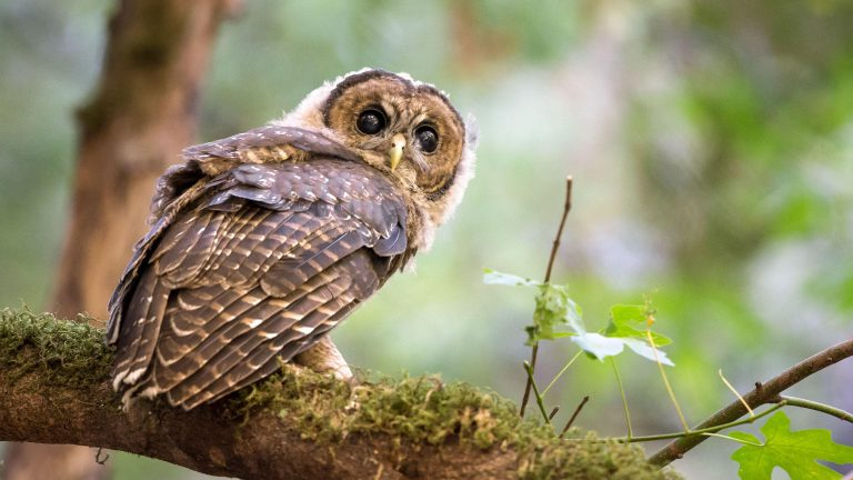 owl in the nature