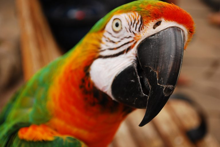 head of a parrot