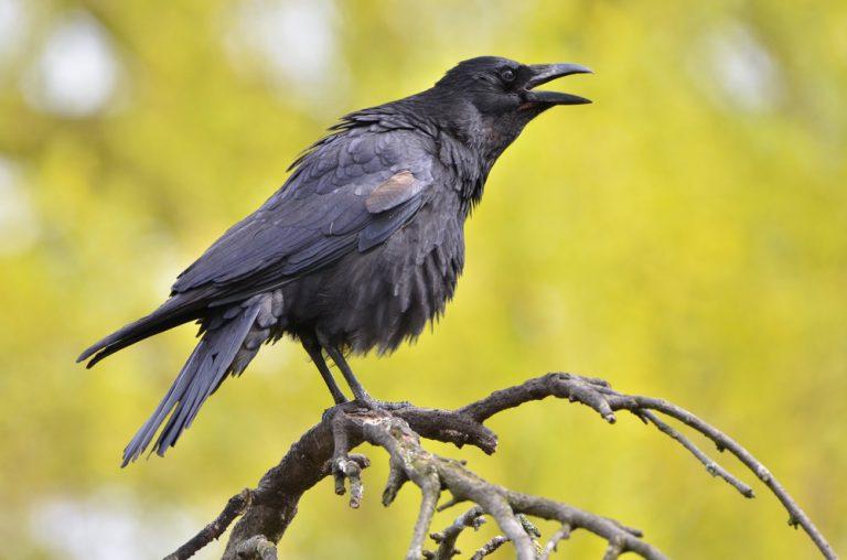 crow eggs