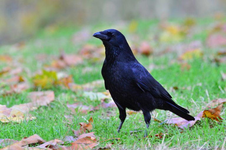 raven culture