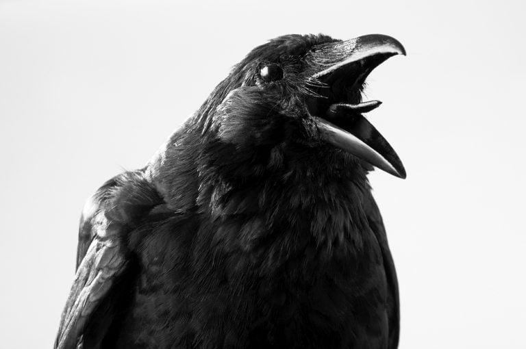 You mas know crow