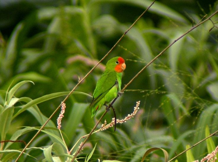 exotic red-faced lovebird