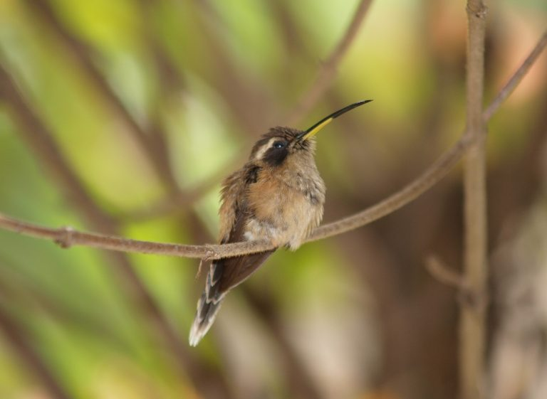 strip throated hermit hummingbird