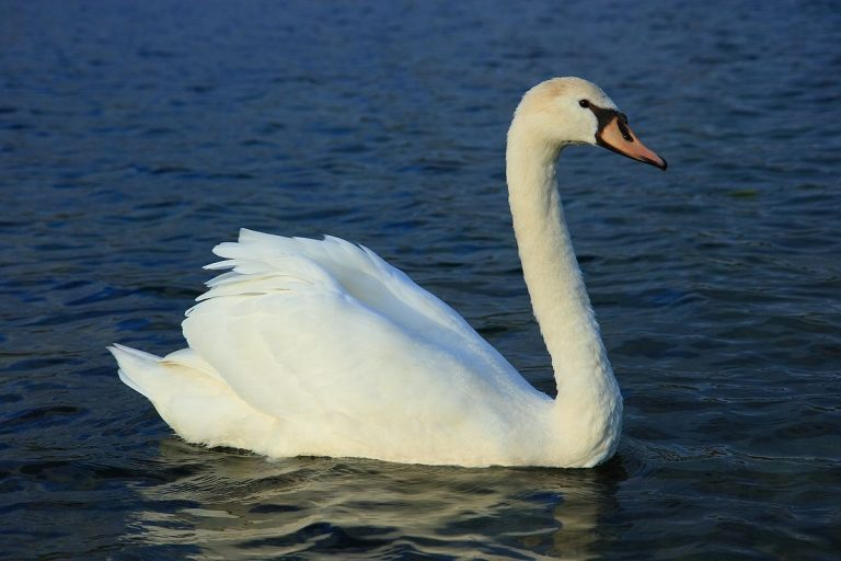 habitat of a swan