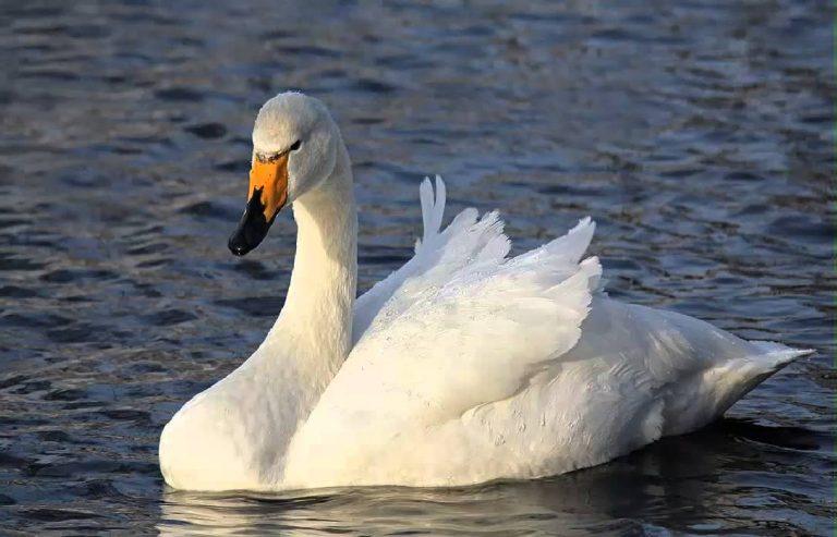 swan eat