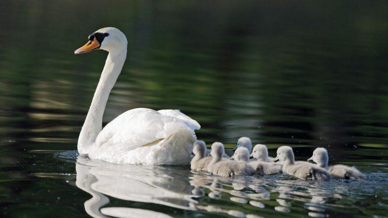 swan diseases