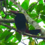 tawny-tufted toucanet