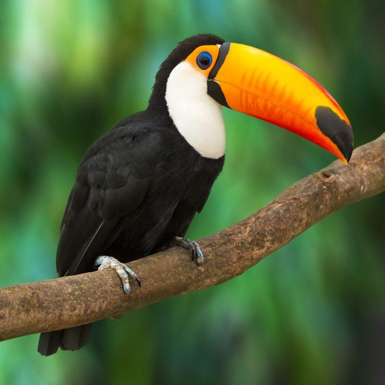 toucan bird exotic