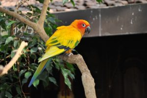 type of conures