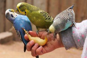 diferent types of small parrots