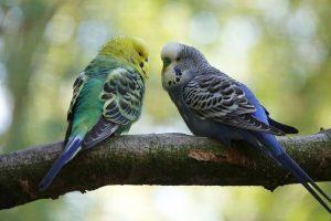 smallest parrots